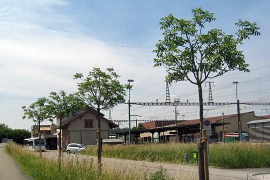 Kugelblumeneschen beim Bahnhof